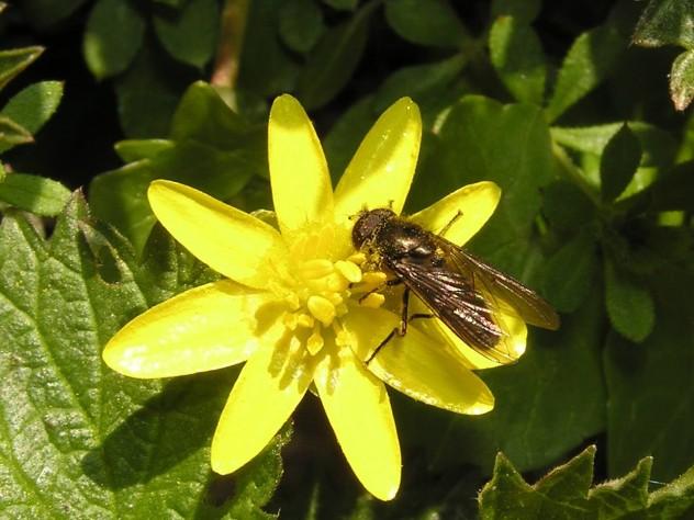 Die sternförmige Blüte des Scharbockskrautes