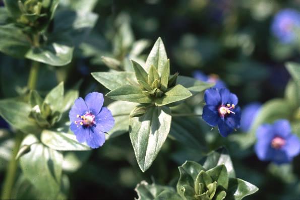Acker-Gauchheil azurblau